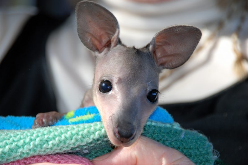 1. Orphaned Wallaby Joey @ 600gms