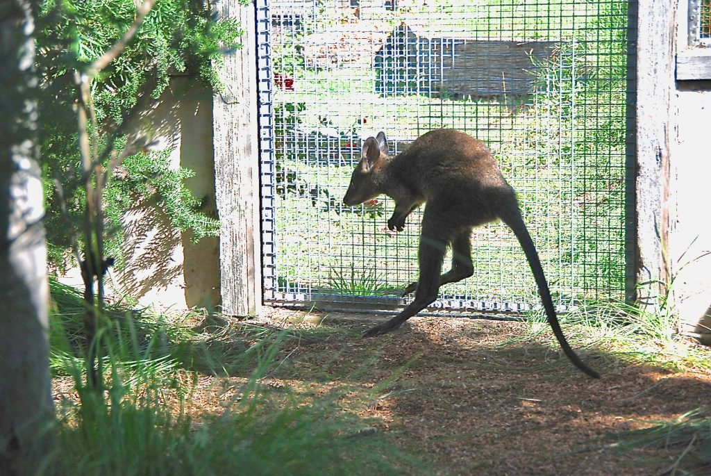 6. Now out in large enclosure for a couple of months to get ready for release