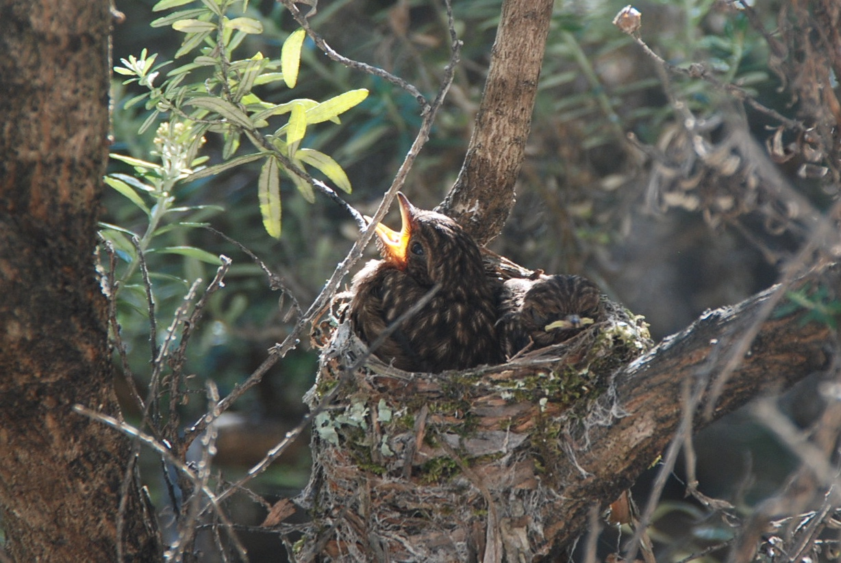 Young Robin chicks