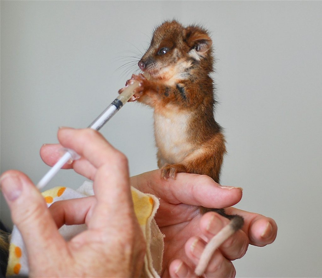 1. Tiny 40 gram orphaned ringtail joey named Spindle feeding