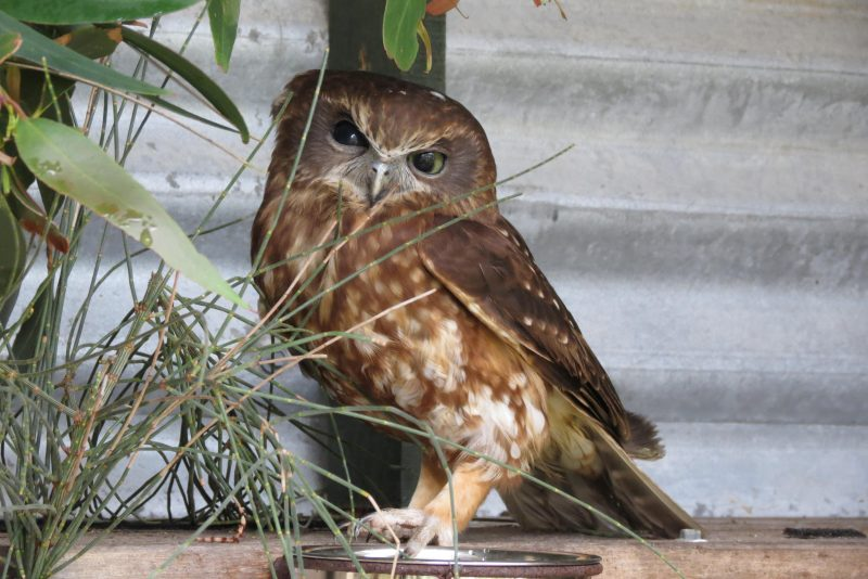 2. Boobook Owl in large enclosure