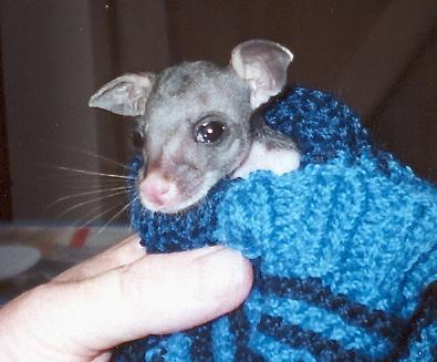 2. Tiny Brushtail Possum - fur just coming through