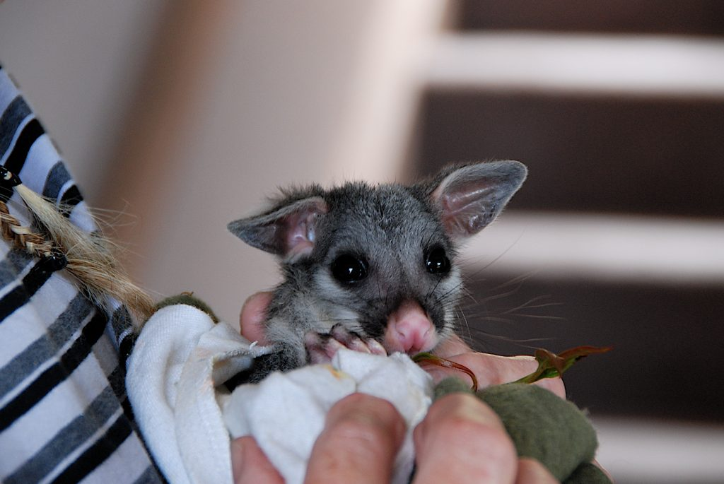 3. A rescued orphaned Brushtail joey, Burrow at 240 grams