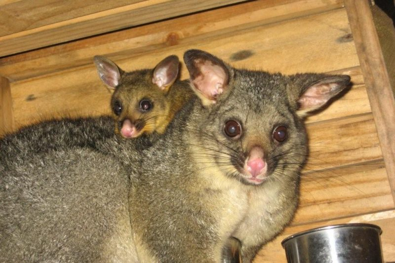 6. Released Burrow a year later with her own joey