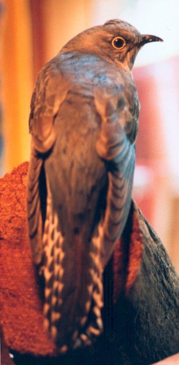 8. Fantail Cuckoo