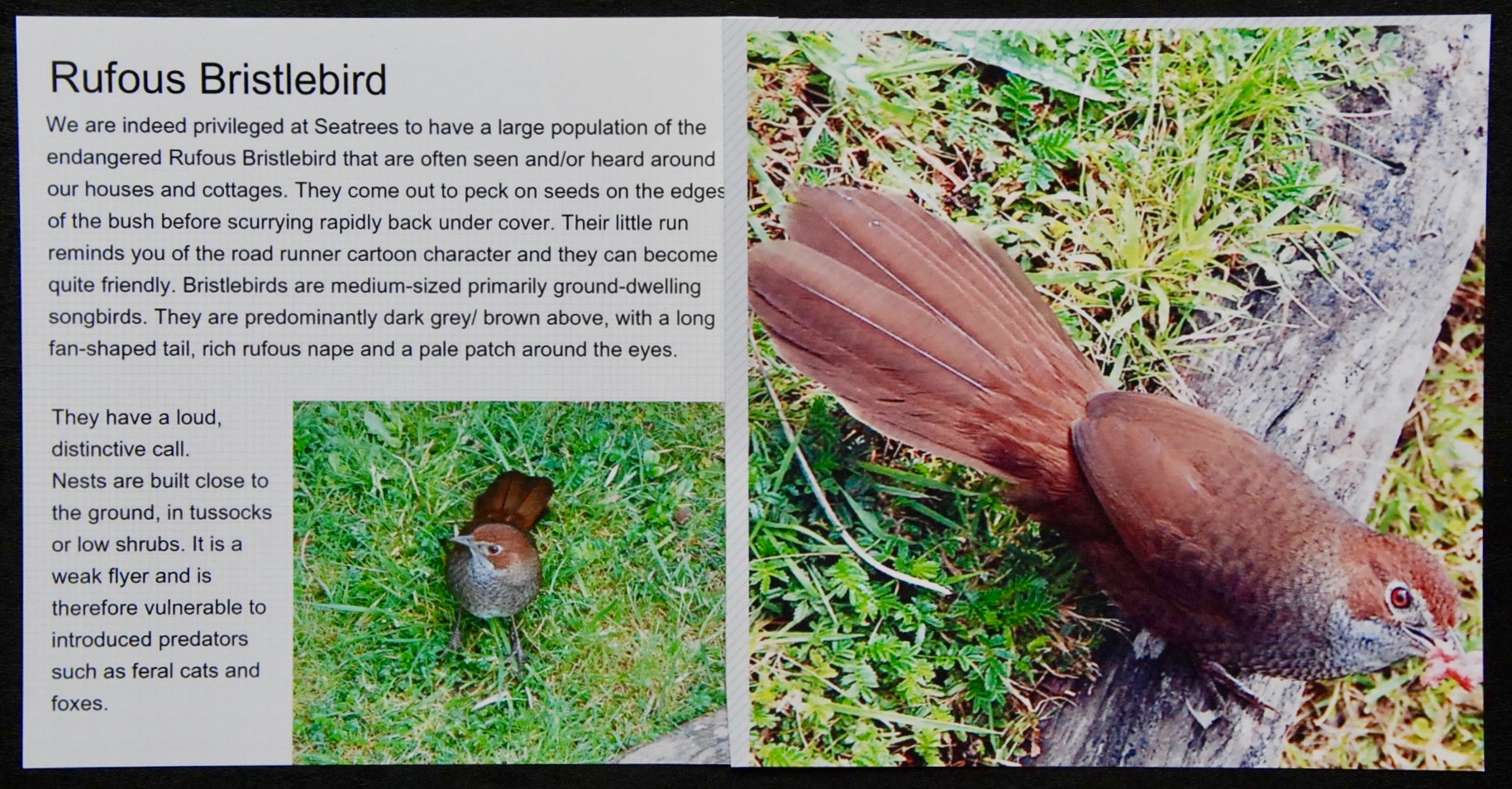 Bird Book Sample Pages --- Bristle Bird