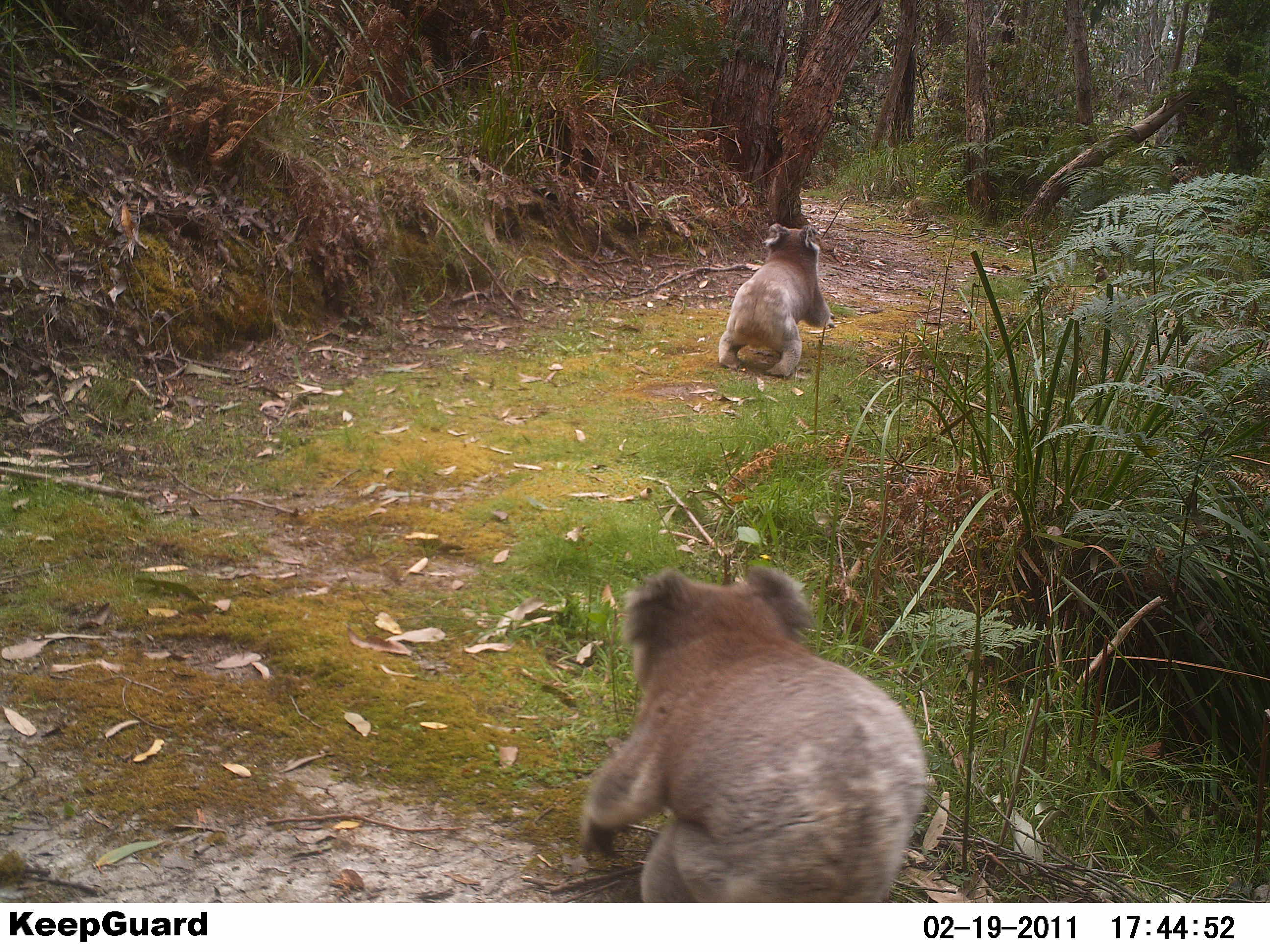 Koalas at the Swing Bridge